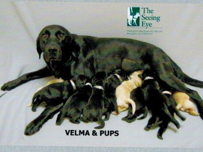 "Velma looks like she has quite a job to do, with 10 hungry little pups crowding in for dinner. Daughter Sparkle says ""hi!"" (Photo courtesy of the Seeing Eye)"