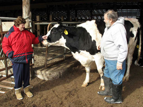 """Wayne Shontz of Southampton with Houdini, one of his four remaining cows, which he and his wife, Roberta, keep for their grandchildren. After 39 years milking on their 118-acre spread, the Shontzs sold off their herd last year, leaving just one dairy farm in Burlington County. Scarce labor, low milk prices and high feed prices """"made it hard to survive,"""" they said. (Photo by David O´Reilly)"""