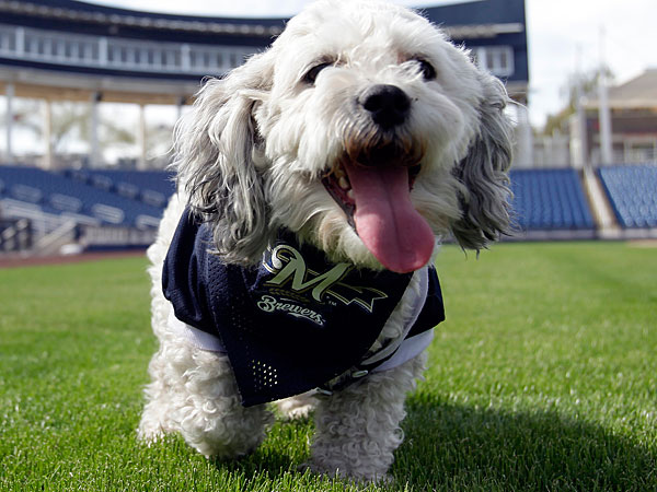 Milwaukee Brewers mascot, Hank, during a spring training baseball practice, Sunday, Feb. 22, 2014, in Phoenix, Ariz. The Brewers adopted Hank, named after Hank Aaron, and plan on bringing him back to Milwaukee. (AP Photo/Rick Scuteri)