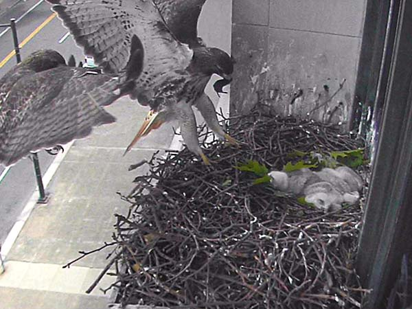 Red-tailed hawk T2 first joined the nest at the Franklin Institute in May 2012.