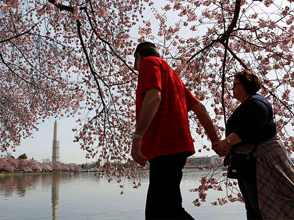 April 2013, peak bloom, the Washington Monument reflected in the Tidal Basin. (Reuters)