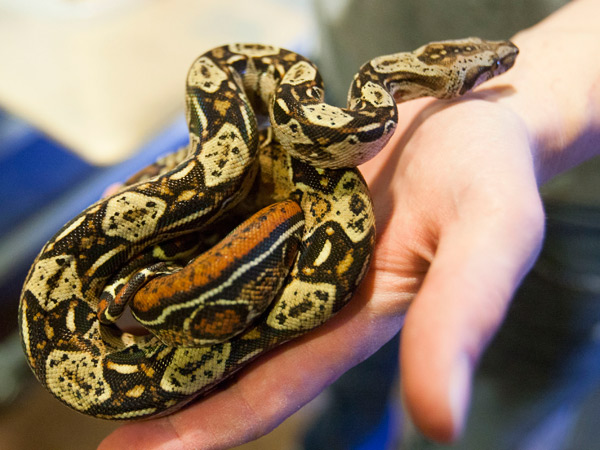 Thomas Cobb shows off several of his exotic reptiles that he keeps in a special basement room of his home Friday, April 26, 2013 in Cottonwood Heights, Utah. Cobb has been ordered by police to get rid of all but one of his 29 exotic boa constrictor snakes because he doesn't have an exotic pet permit.  (AP Photo/The Deseret News, Scott G. Winterton)