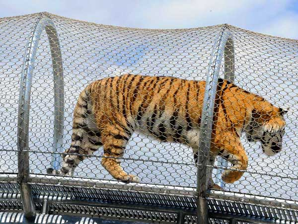 A tiger tries out the the latest $2.3 million addition to the Philadelphia Zoo´s innovative animal trails. ( TOM GRALISH / Staff Photographer )