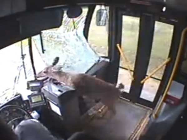 Screenshot from a bus surveillance video showing a deer that crashed through the windshield in Johnstown, Pa.