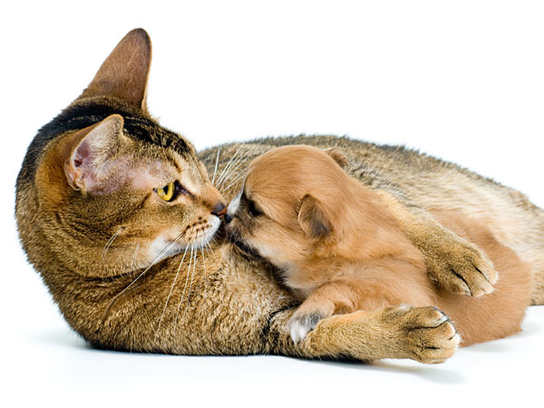 After word spread about a loving shelter cat who accepted two premature Chihuahua puppies to nurse as her own, an outpouring of admiration has been so strong that a lottery-style drawing will be held to adopt them out. (iStock)