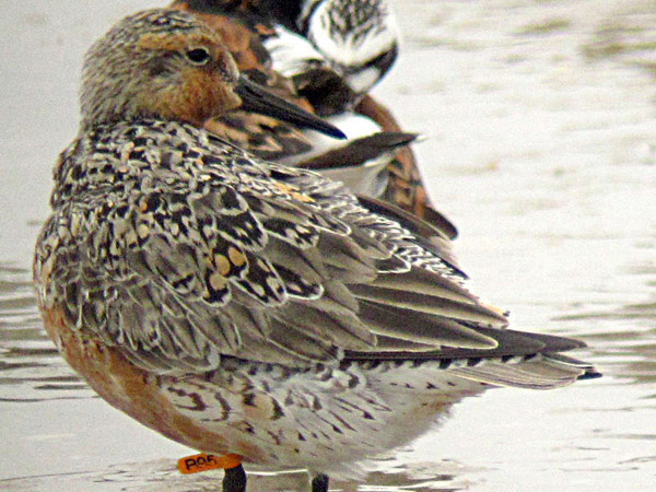 The red knot B95 was photographed Monday on a beach at Fortescue, N.J. (CRISTOPHE BUIDIN)