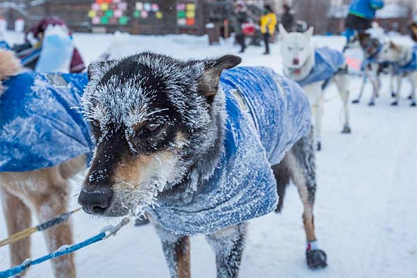 File photo: Dogs in Seth Barnes´ team arrive in Tanana, Alaska, during the Iditarod Trail Sled Dog Race, Wednesday, March 11, 2015.