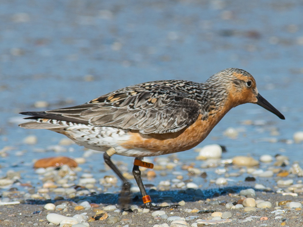"A red knot, also know as a ""moon bird,"" spotted Sunday, May 25, 2014, at Reeds Beach, N.J. (Photo courtesy of Allan Baker)"