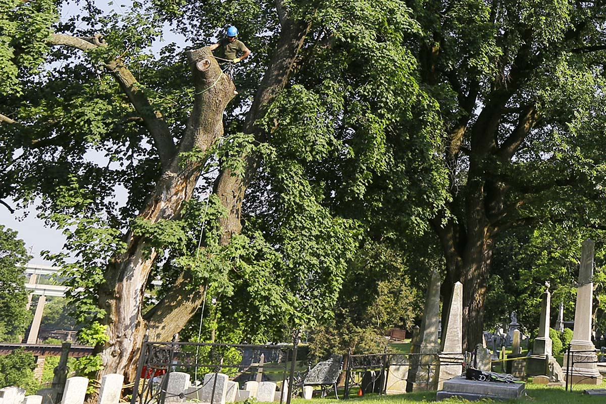 Arborists dismantle the Meade Norway maple tree at the Laurel Hill Cemetery on May 28, 2016.