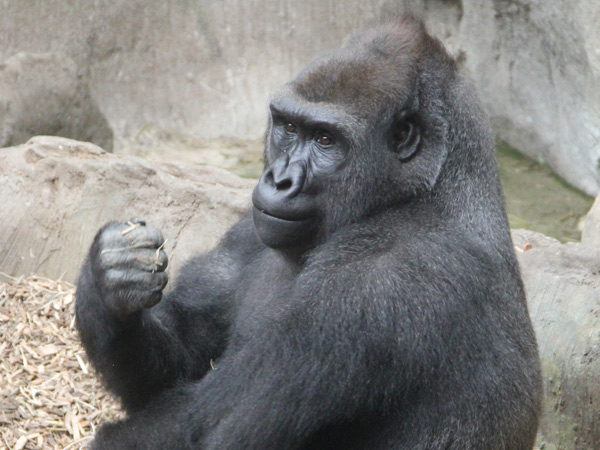 Kira is a female western lowland gorilla who is coming to the Philadelphia Zoo from Boston. (Photo courtesy of Jennifer Williams)