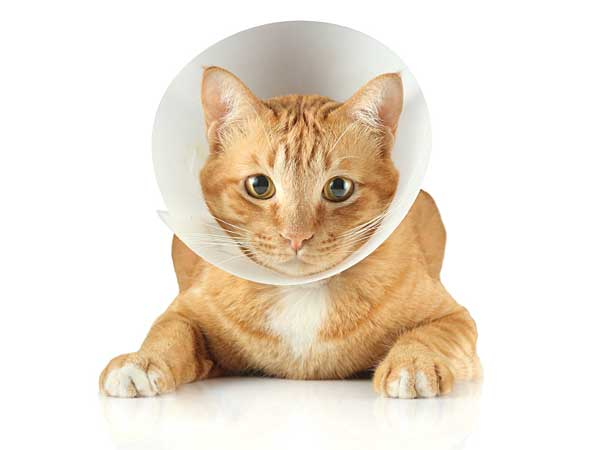 When Marion Asnes´ beloved cat, Herman, was injured by a coyote, she had to make one of life´s gut-wrenching decisions. (iStock)
