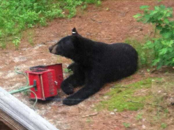 Evesham Township police say a black bear wandered into a yard on Thursday, June 12, 2014. The bear is one of a number spotted around the Philadelphia region in recent weeks. (Courtesy of Evesham Township police)