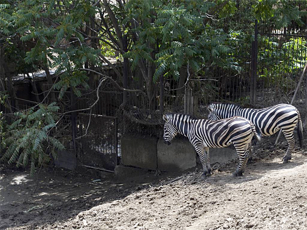 Two zebras escaped from a flooded zoo stand on a hill inside the zoo in Tbilisi, Georgia, Tuesday, June 16, 2015. The discovery of the last of the missing lions and tigers on Tuesday as the waters receded eased fears in the capital of Georgia, an ex-Soviet republic, that some of the big cats were still wandering the hills of the city. (AP Photo / Pavel Golovkin)