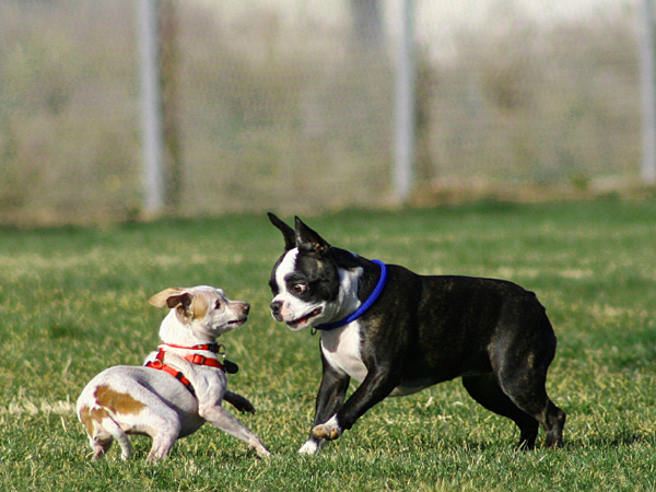A dog park can turn into the worst, most hazardous playground in a heartbeat, a dirty place where bullies rule. One traumatic experience can lead to injury or a lifetime of fear aggression. (iStock)