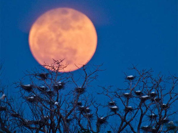 "A ""super moon"" rises above a egret nesting area on the west side of Wichita, Kan., in 2012. A supermoon, is the coincidence of a full moon (or a new moon) with the closest approach the Moon makes to the Earth on its elliptical orbit, or perigee."