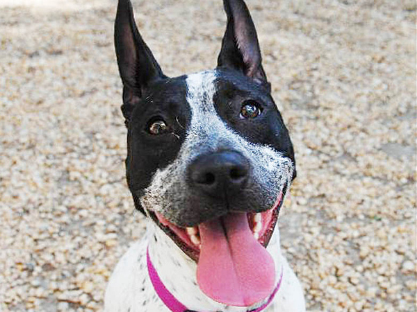 THE Daily News Pet of the Week is Oreo, a 6-to-12-month-old Australian cattle dog mix at the Philadelphia Animal Welfare Society. (Dan Shepard)