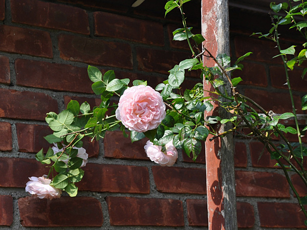 In this undated photo, strong fragrance in addition to beautiful blossoms double the pleasure of Strawberry Hill rose, from rose breeder David Austin, in New Paltz, New York. (AP Photo/Lee Reich)