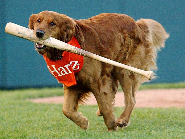One of the biggest stars on a team of potential New York Yankees is Chase, a golden retriever who´s quite possibly the only member of the Trenton Thunder not trying to impress George Steinbrenner. The Thunder is the Yankees´ AA farm team, playing in the Eastern League. (AP Photo/Tim Larsen)