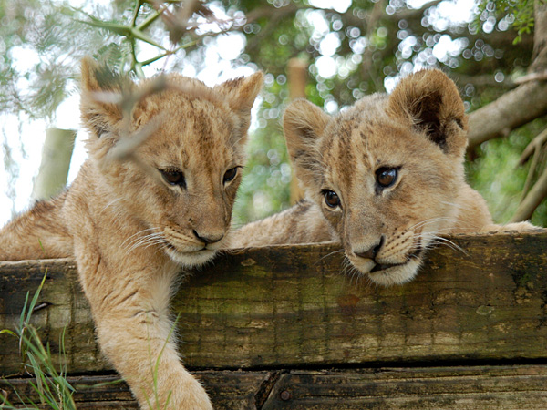 The Philadelphia Zoo has four new youngsters: African lion cubs born June 26. (iStock)