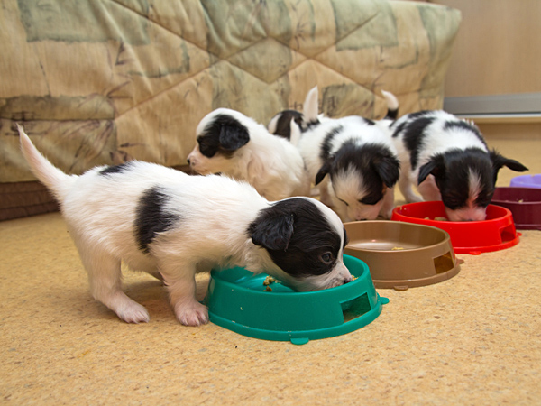 A puppy's meal schedule must include three measured meals a day, preferably at the same time every day. (iStock)
