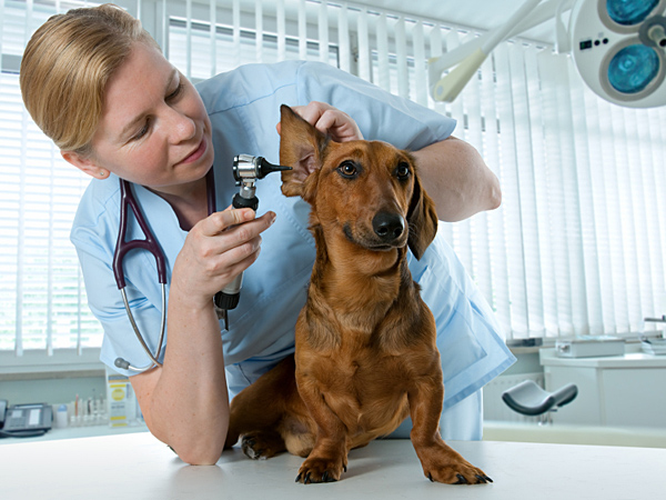 In most cases, a pet's ear infection should be viewed as a symptom of another, underlying condition. (iStock)