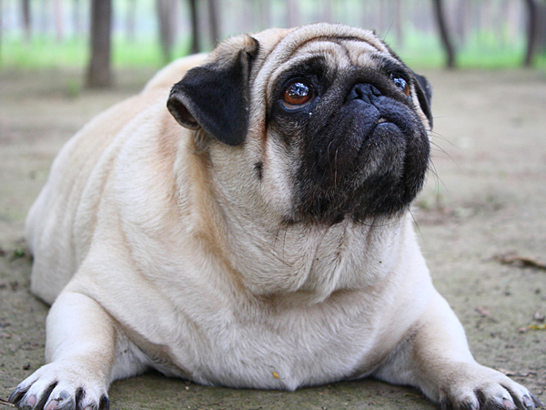 Obese dogs and cats can be predisposed to a number of different health issues. (iStock)
