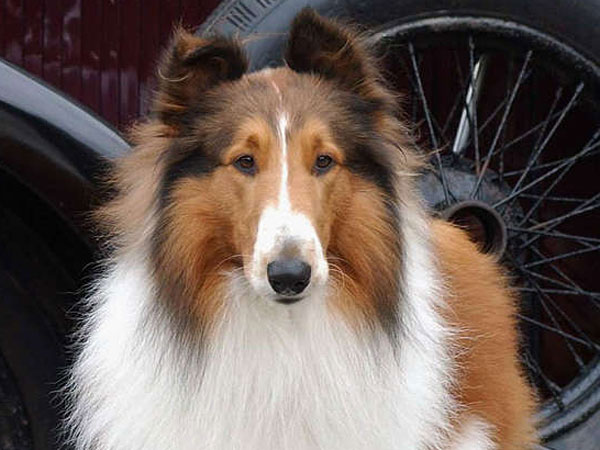 "Lassie in Wicklow, Ireland, in 2005, for the remake of the 1943 movie ""Lassie Come Home."""