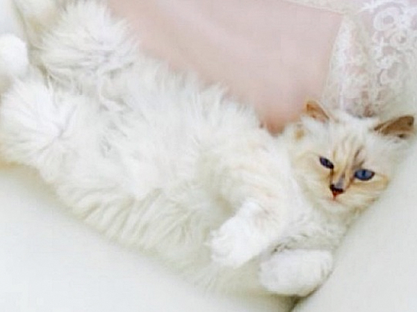 Karl Lagerfeld´s cat Choupette has her own iPad and eats next to Lagerfeld at the table from fine china.