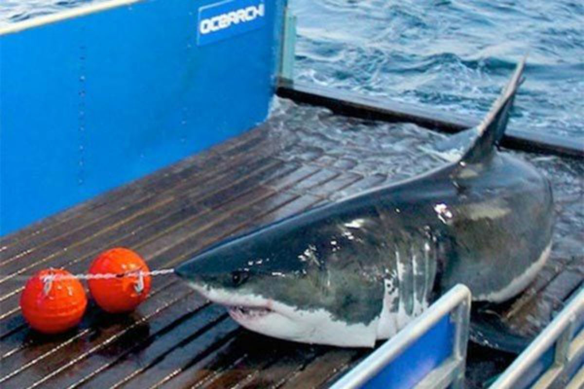 Mary Lee the great white shark that has a tracker researchers attached to her dorsal fin in 2012.