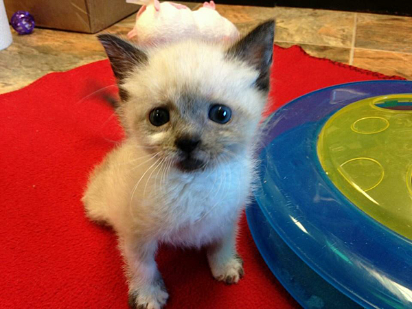 Tanzy, a paralyzed rescue kitten from New Jersey, has over 4,200 friends on her Facebook page. (via Facebook)