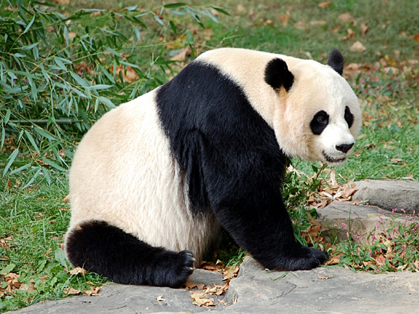A giant panda allegedly faked her own pregnancy at Chengdu Giant Panda Breeding Research Centre to get more food and better treatment. (iStock)