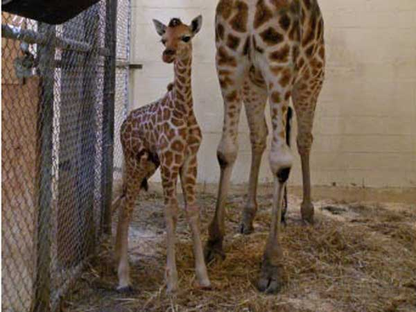 A baby giraffe was born this month at the Cape May County Park and Zoo.
