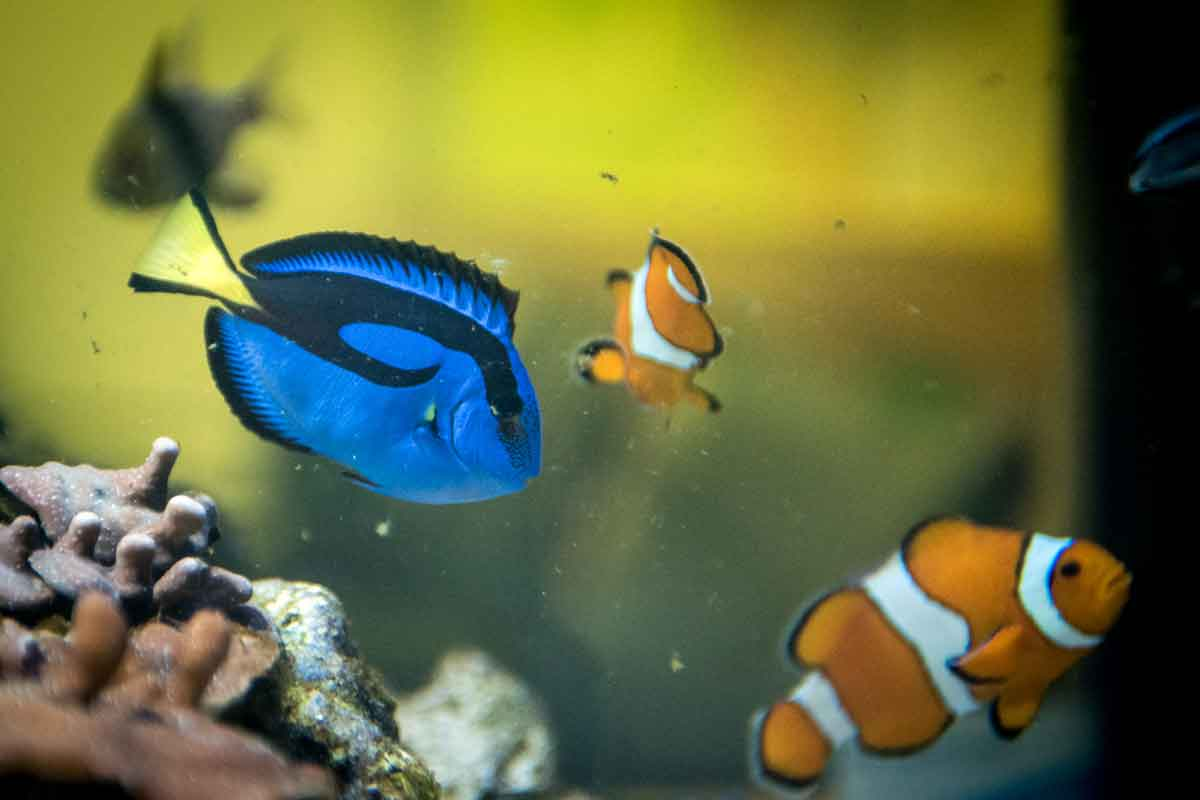 Finding the real Dory: Fish is a beauty, but can be a ...