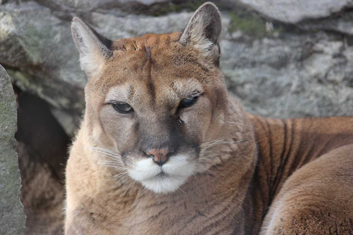 zoo cougar dating