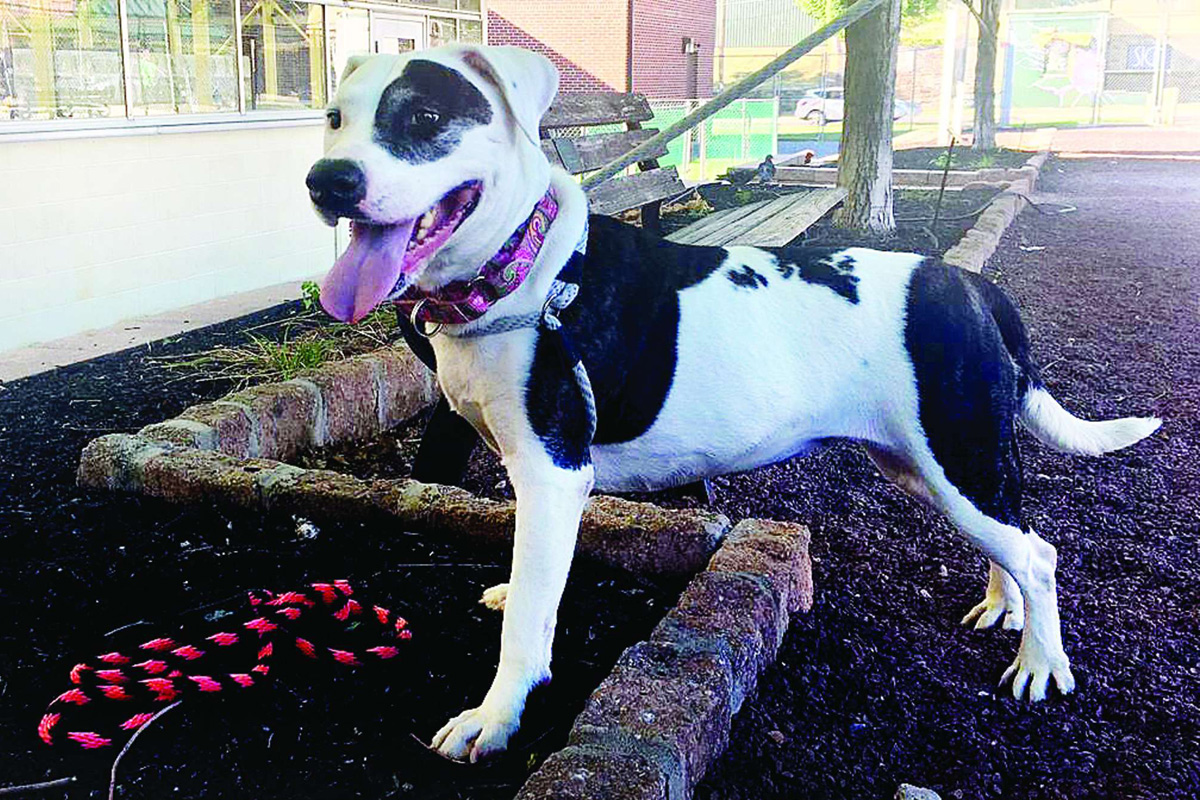THE DAILY NEWS Pet of the Week is Mia, an 8-year-old pit bull mix at the Pennsylvania SPCA.