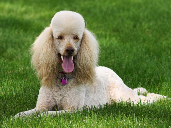 Even poodles aren´t completely hypoallergenic. (iStock photo)