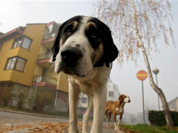 Stray dogs walk through the residential area in the Sarajevo suburb of Dobrnja, Bosnia, on Tuesday, Nov. 27, 2012.