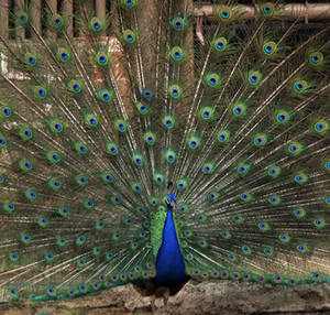 "The peacock's gorgeous tail wins the girl, or peahen. Human males likewise use ""peacocking"" to curry female favor."