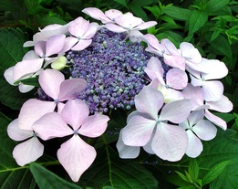 a lacecap hydrangea: Subtler slow-waking florets make a bouquet of stars.