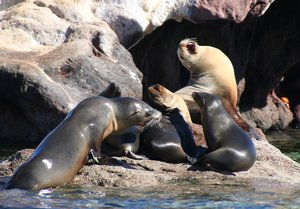 A male sea lion emerges from the water, sparking objection from the master of the harem at Los Islotes in the Sea of Cortez. Such are the sights on a Baja cruise.