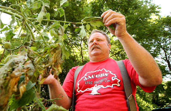 "When Warren Jacobs, a Montco gardener with 80 plants, found late blight, ""I freaked out."" The disease can destroy commercial and home tomato and potato crops. It hasn't spread yet."
