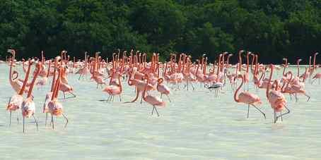 Thousands of flamingos winter in a sanctuary along the Gulf of Mexico coast, near Celestun, Mexico.