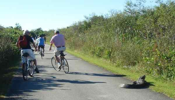 Sharing the road with a local: Biking through Shark Valley in the Everglades, with alligator.
