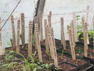 Some of Weaver´s planted flats of heritage seeds at Roughwood, his Devon manse.