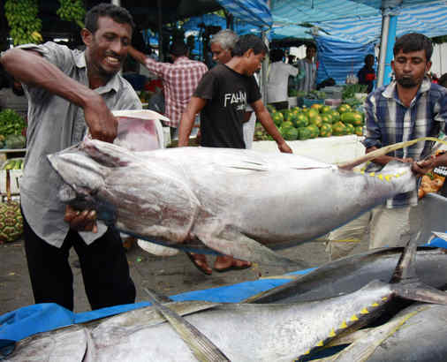 Fishermen loading yellowfin tuna , also called ahi, into a lorry in Male, Maldives. Yellowfin, a smaller, faster-growing variety of tuna, is commonly used as a tuna steak and can be found in sushi restaurants. This species, and others, are overfished.