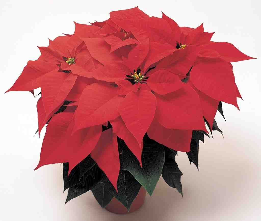 Poinsettias hate cold. Keep them happy with a daytime temperature of 70, nighttime, 64.