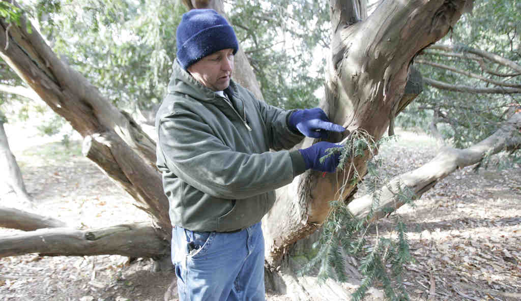 Mike Karkowski, horticulture director at Tyler Arboretum, trims a yew with hand snips. He´ll conduct a clinic on pruning Saturday.