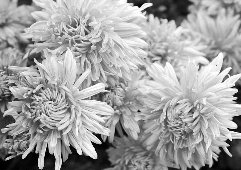 Chrysanthemums should be pinched again - and asters, too.