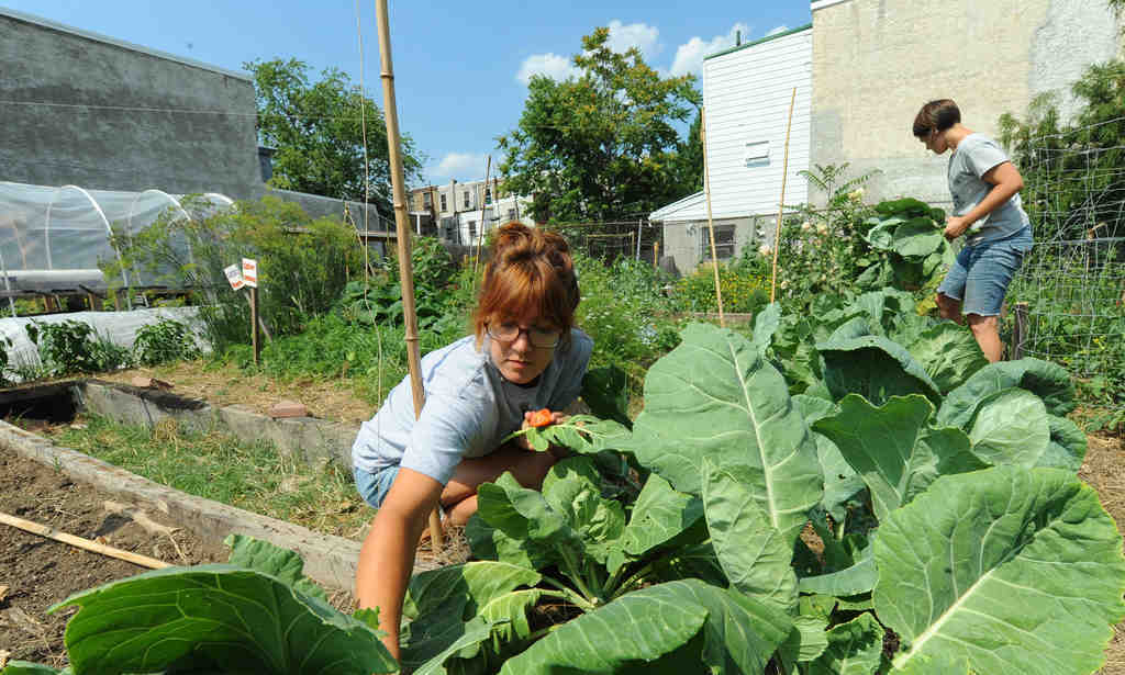 Volunteers Lindsay Stolkey (front), 24, and Katie Jordan, 29, prune out the collard-green bed at the Emerald Street Urban Farm in East Kensington.