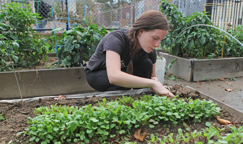 Molly Devinney , who works with the students on their garden, tends a raised bed. Produce from the students and other gardeners will be used by local chefs to create the PHeaSt, a fund-raising dinner for the Pennsylvania Horticultural Society´s City Harvest program. City Harvest enlists gardeners to grow and donate organic produce to the needy. MICHAEL BRYANT / Staff